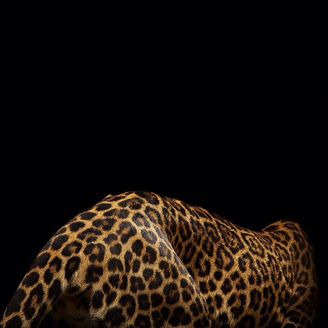 big cats vincent musi everythingwithatwist 02