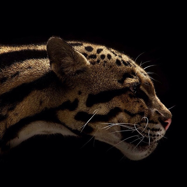 big cats vincent musi everythingwithatwist 03