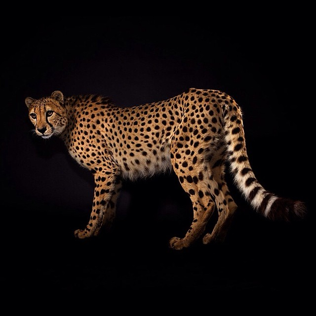 big cats vincent j musi everythingwithatwist 10